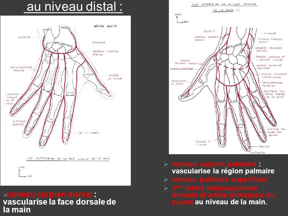 au niveau distal : rameau carpien palmaire : vascularise la région palmaire. rameau palmaire superficiel.