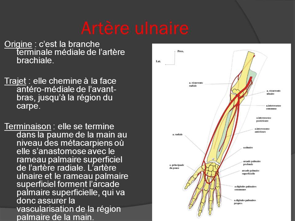 Artère ulnaire Origine : c'est la branche terminale médiale de l'artère brachiale.