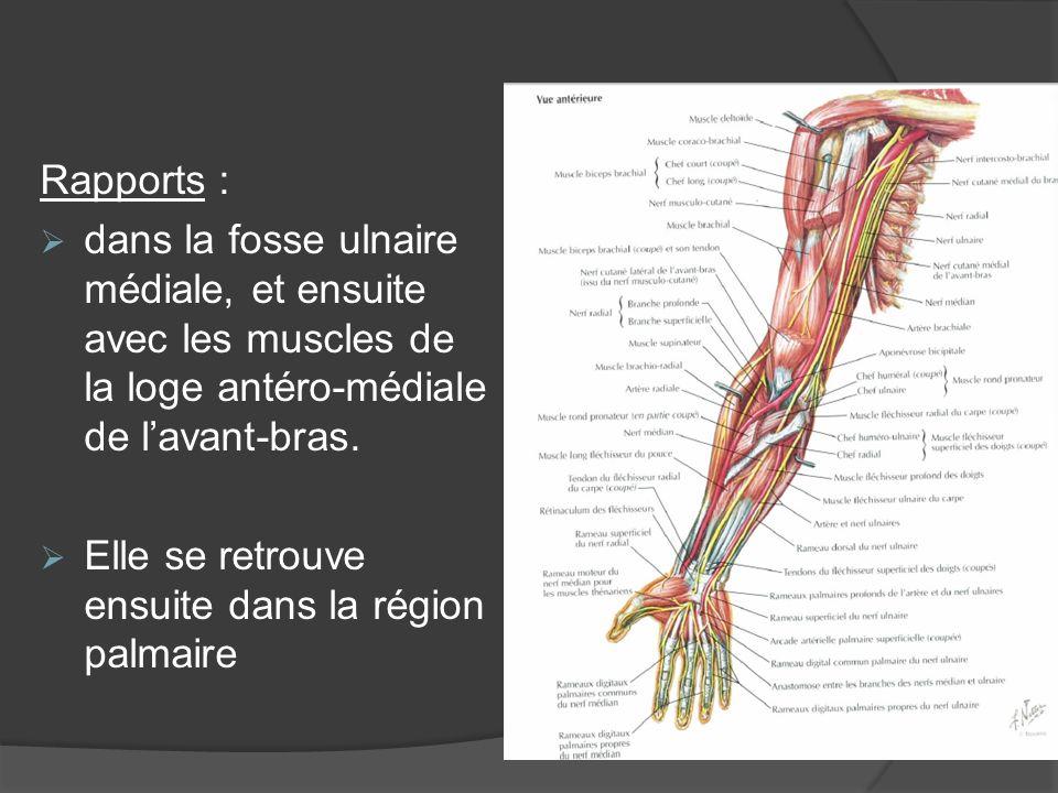 Rapports : dans la fosse ulnaire médiale, et ensuite avec les muscles de la loge antéro-médiale de l'avant-bras.