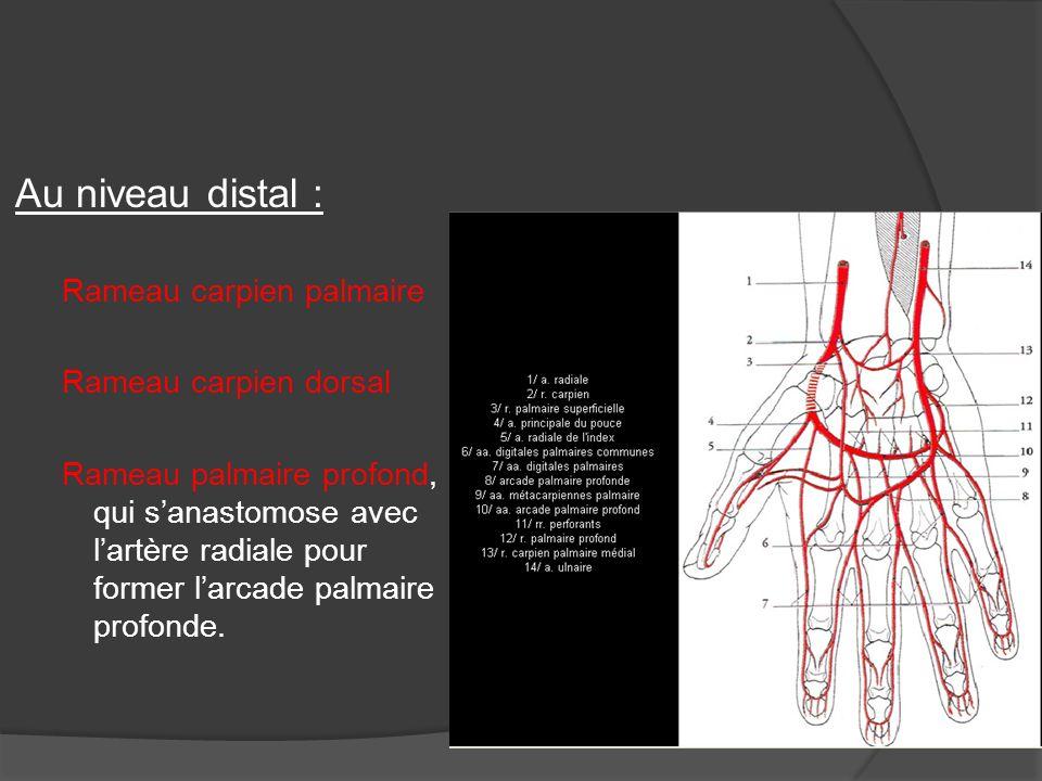 Au niveau distal : Rameau carpien palmaire Rameau carpien dorsal