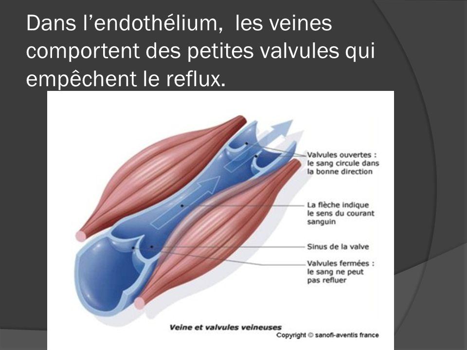 Dans l'endothélium, les veines comportent des petites valvules qui empêchent le reflux.