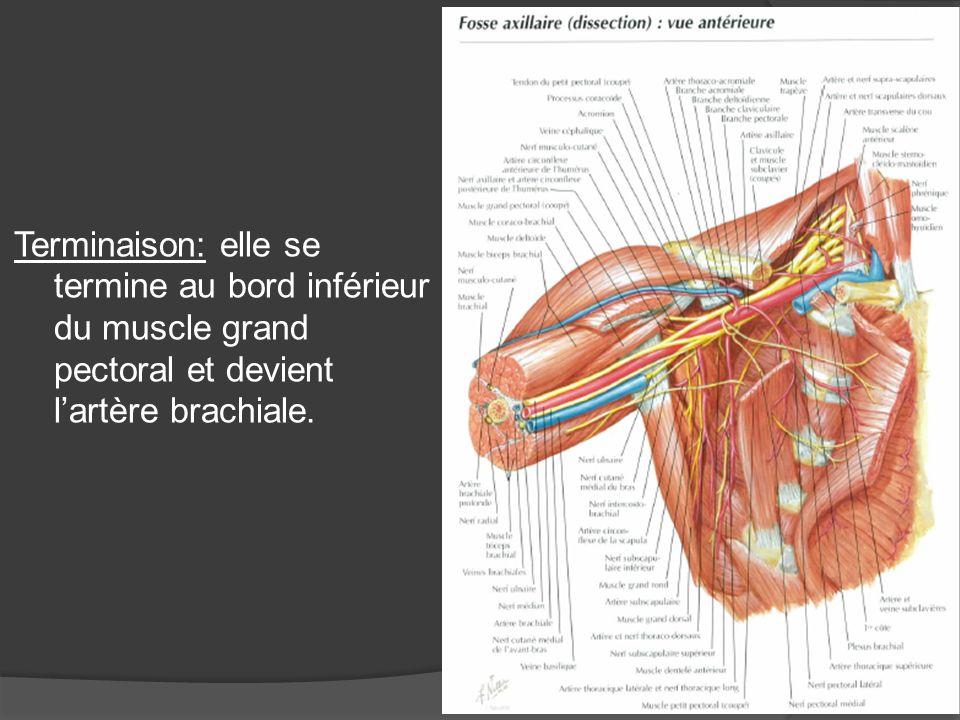 Terminaison: elle se termine au bord inférieur du muscle grand pectoral et devient l'artère brachiale.