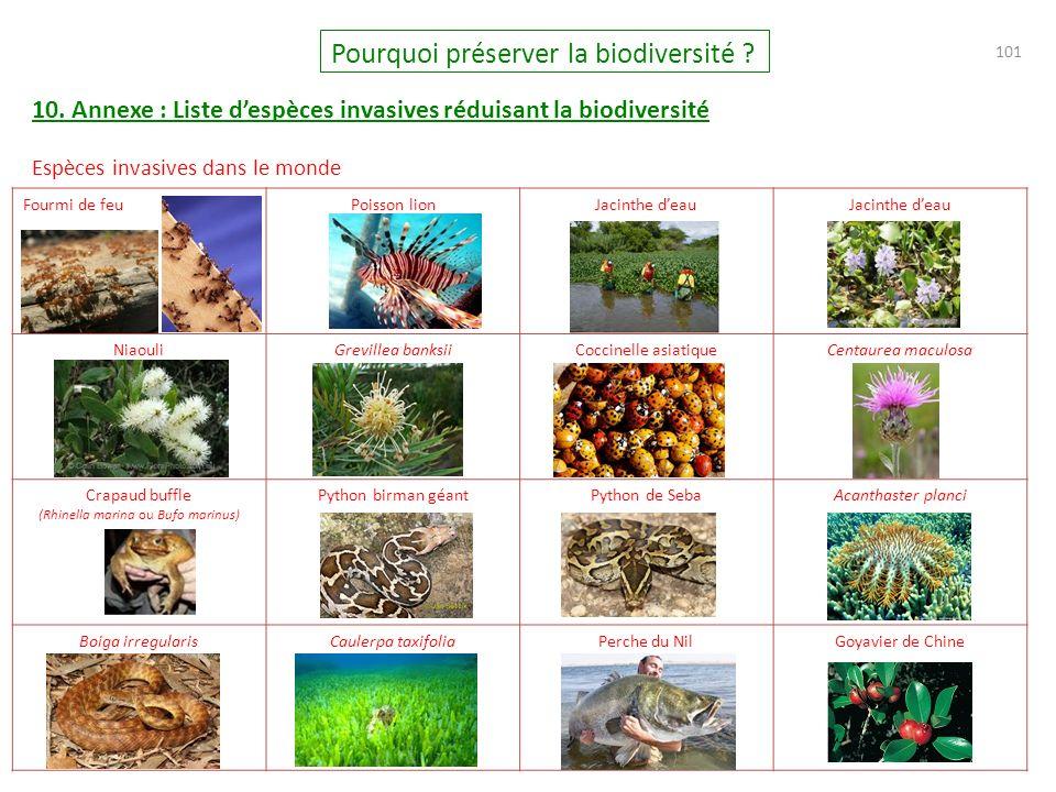 (Rhinella marina ou Bufo marinus)