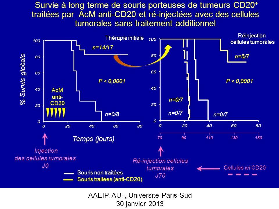 Survie à long terme de souris porteuses de tumeurs CD20+ traitées par AcM anti-CD20 et ré-injectées avec des cellules tumorales sans traitement additionnel