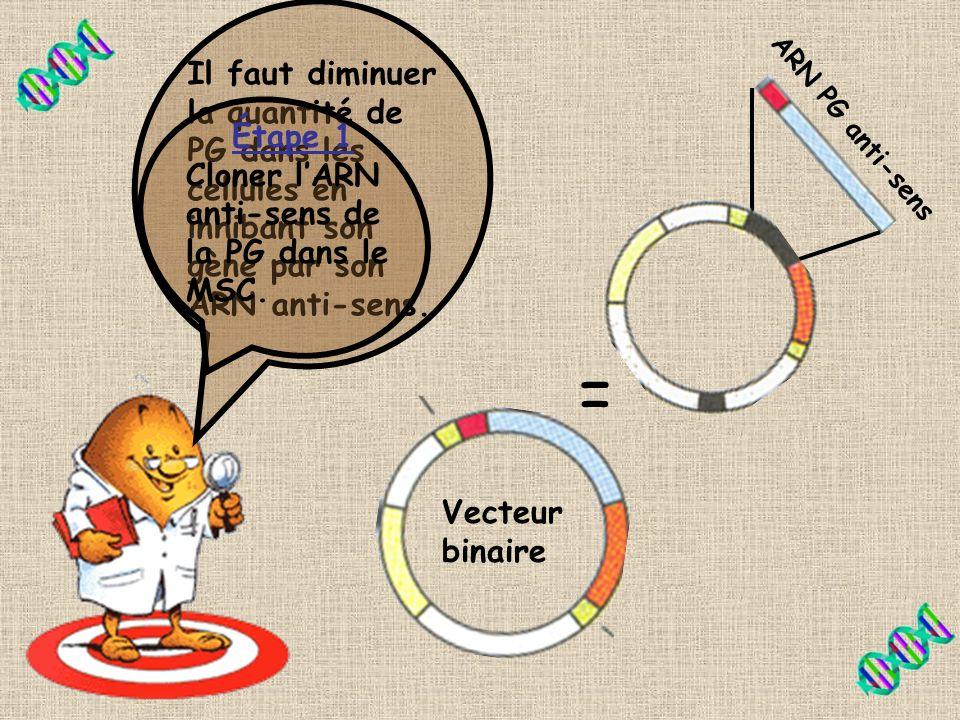 Il faut diminuer la quantité de PG dans les cellules en inhibant son gène par son ARN anti-sens.