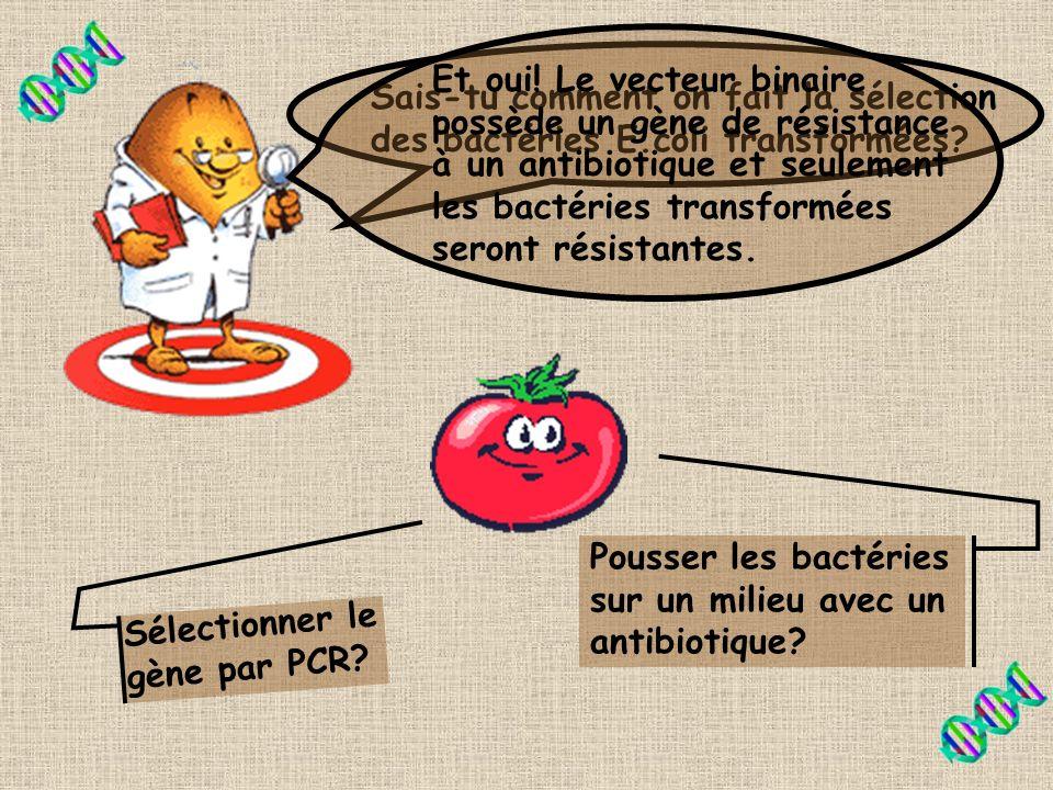 Et oui! Le vecteur binaire possède un gène de résistance à un antibiotique et seulement les bactéries transformées seront résistantes.