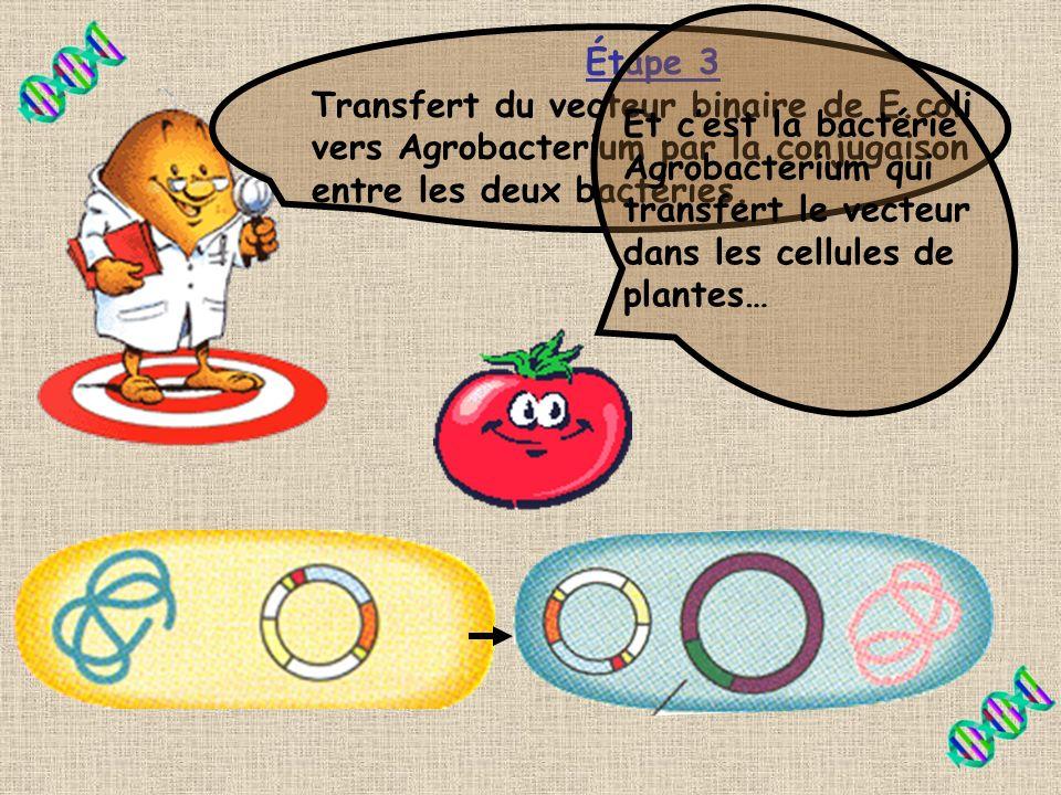 Étape 3 Transfert du vecteur binaire de E.coli vers Agrobacterium par la conjugaison entre les deux bactéries.