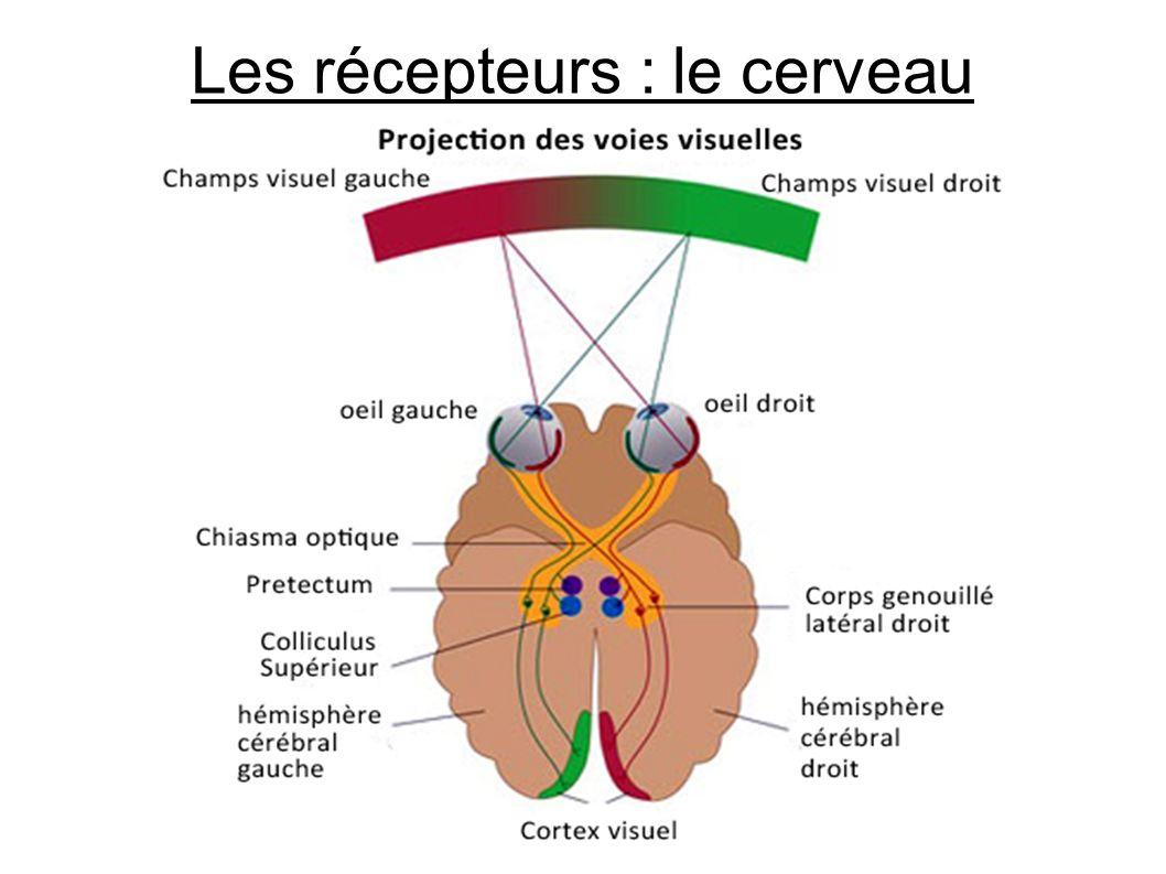 Les récepteurs : le cerveau