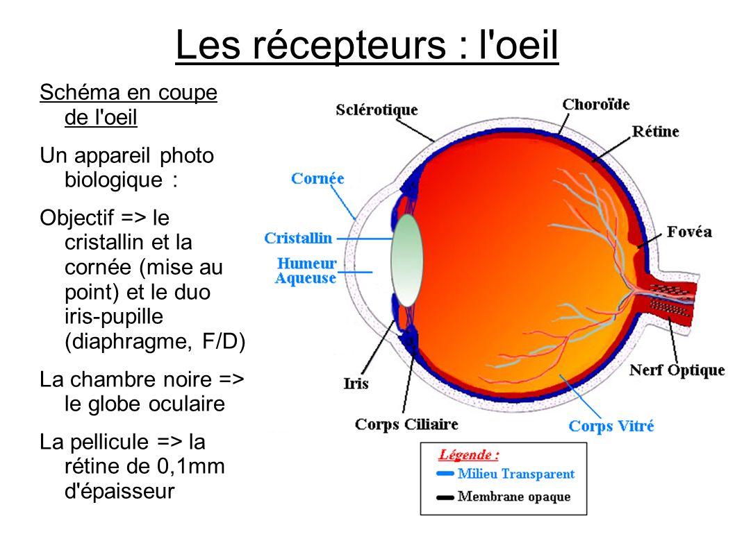 Les récepteurs : l oeil Schéma en coupe de l oeil
