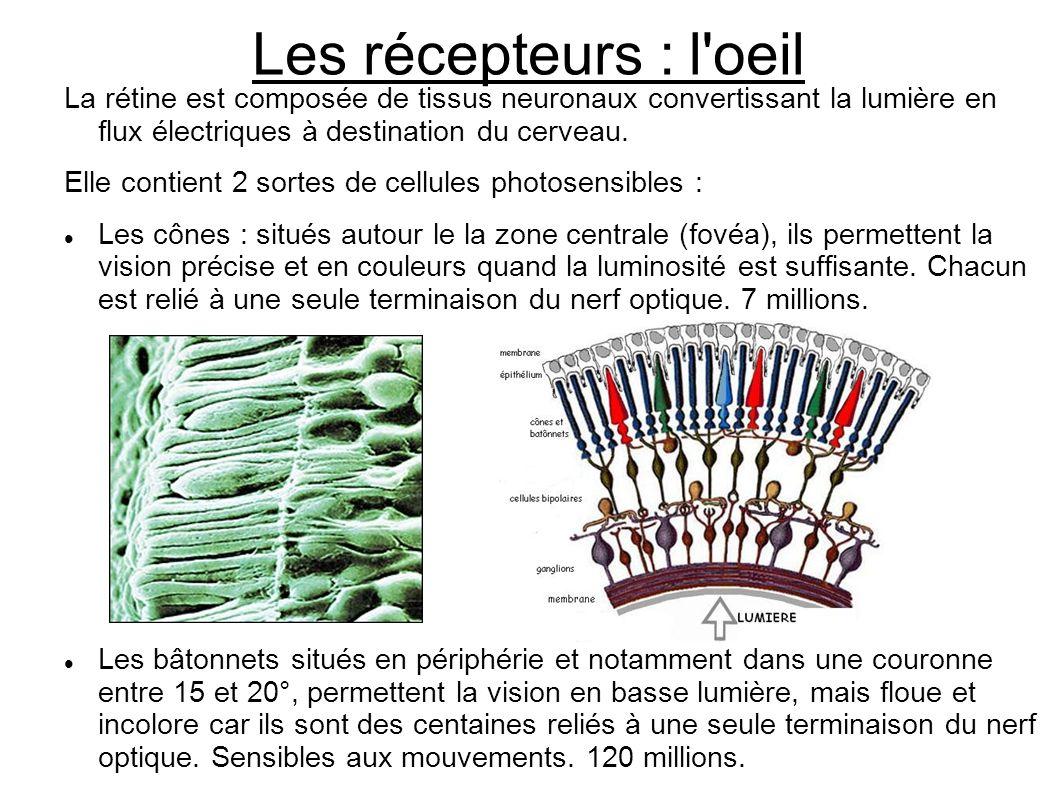 Les récepteurs : l oeil La rétine est composée de tissus neuronaux convertissant la lumière en flux électriques à destination du cerveau.