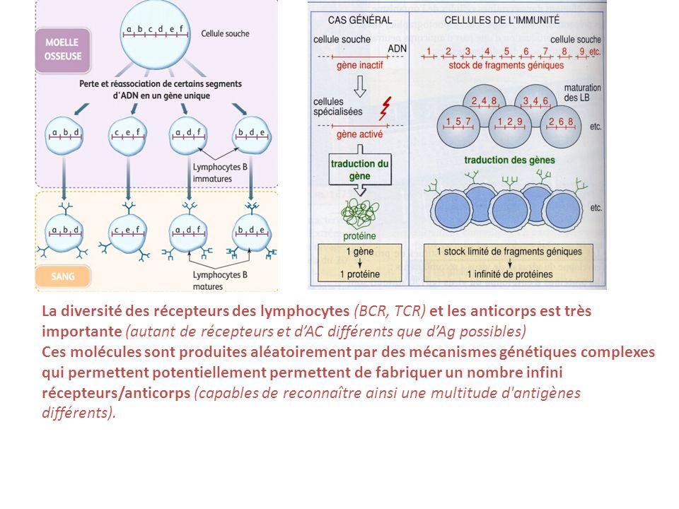 La diversité des récepteurs des lymphocytes (BCR, TCR) et les anticorps est très importante (autant de récepteurs et d'AC différents que d'Ag possibles)