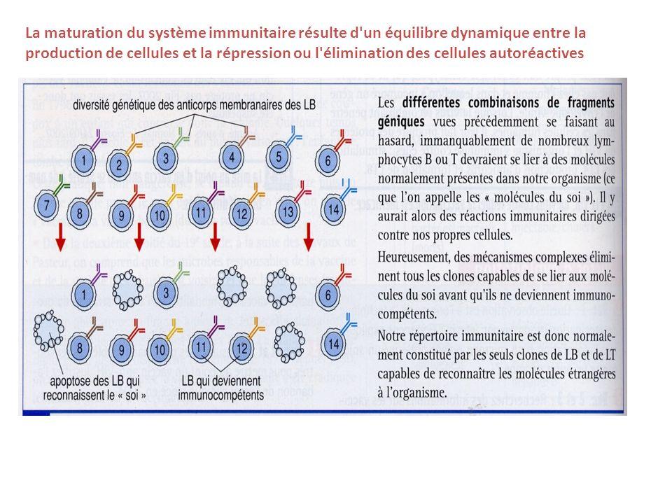 La maturation du système immunitaire résulte d un équilibre dynamique entre la production de cellules et la répression ou l élimination des cellules autoréactives