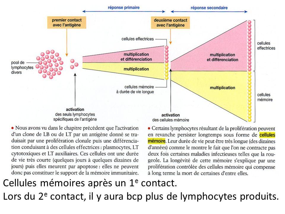 Cellules mémoires après un 1e contact.