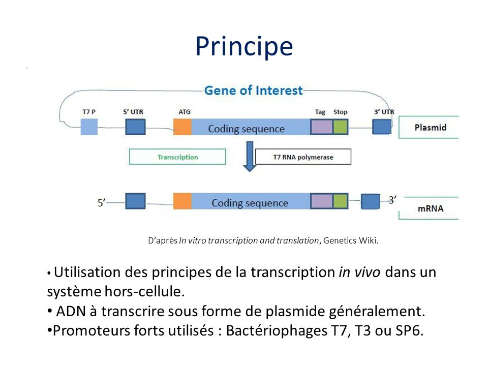 D'après In vitro transcription and translation, Genetics Wiki.