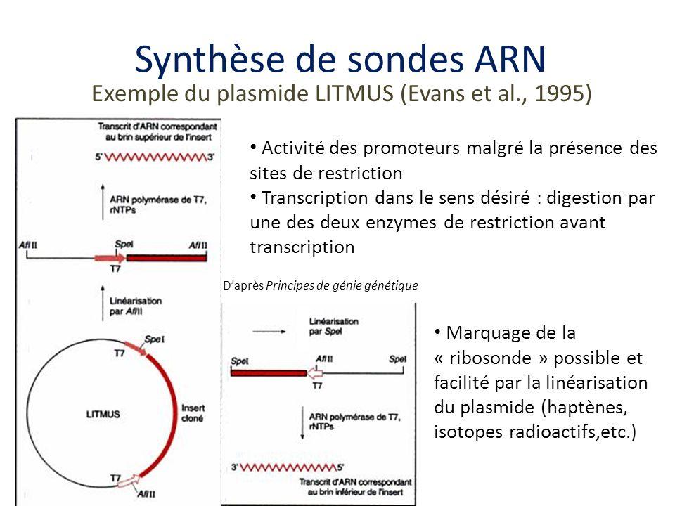 Synthèse de sondes ARN Exemple du plasmide LITMUS (Evans et al., 1995)
