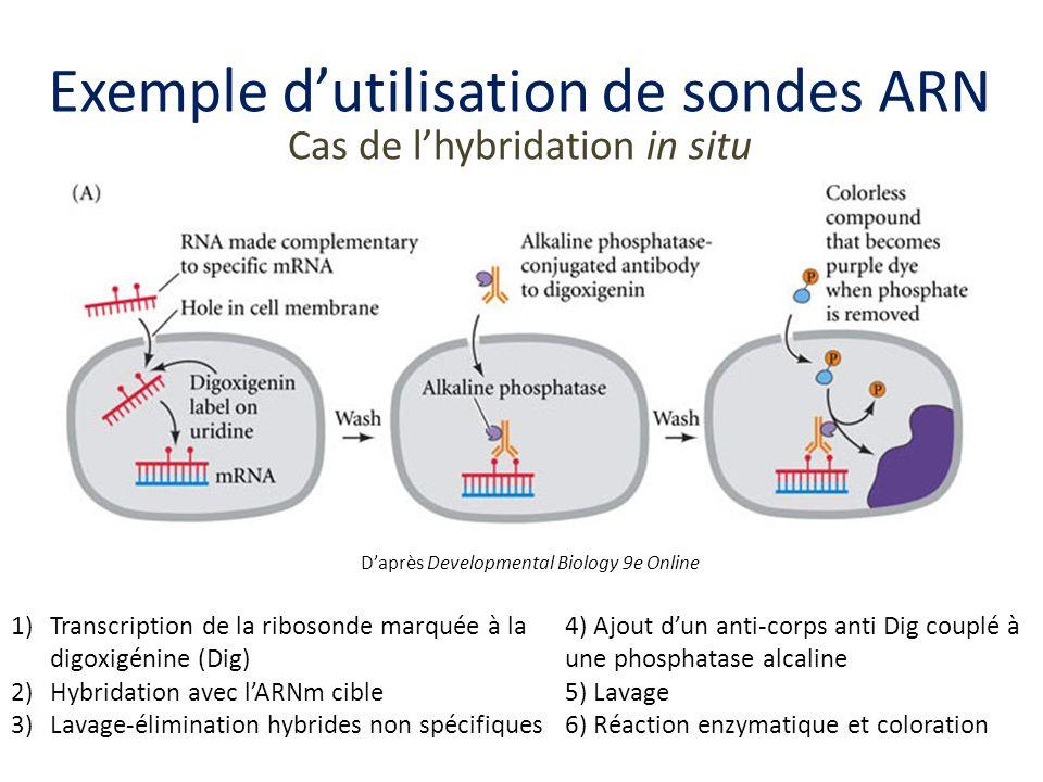 Exemple d'utilisation de sondes ARN