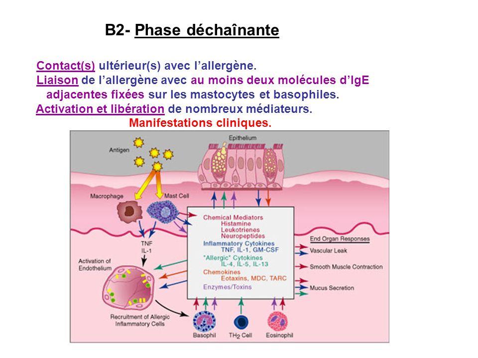 B2- Phase déchaînante Contact(s) ultérieur(s) avec l'allergène.