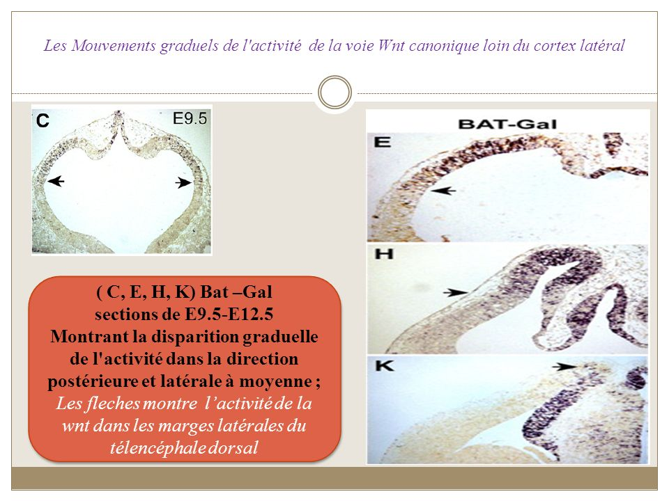 ( C, E, H, K) Bat –Gal sections de E9.5-E12.5