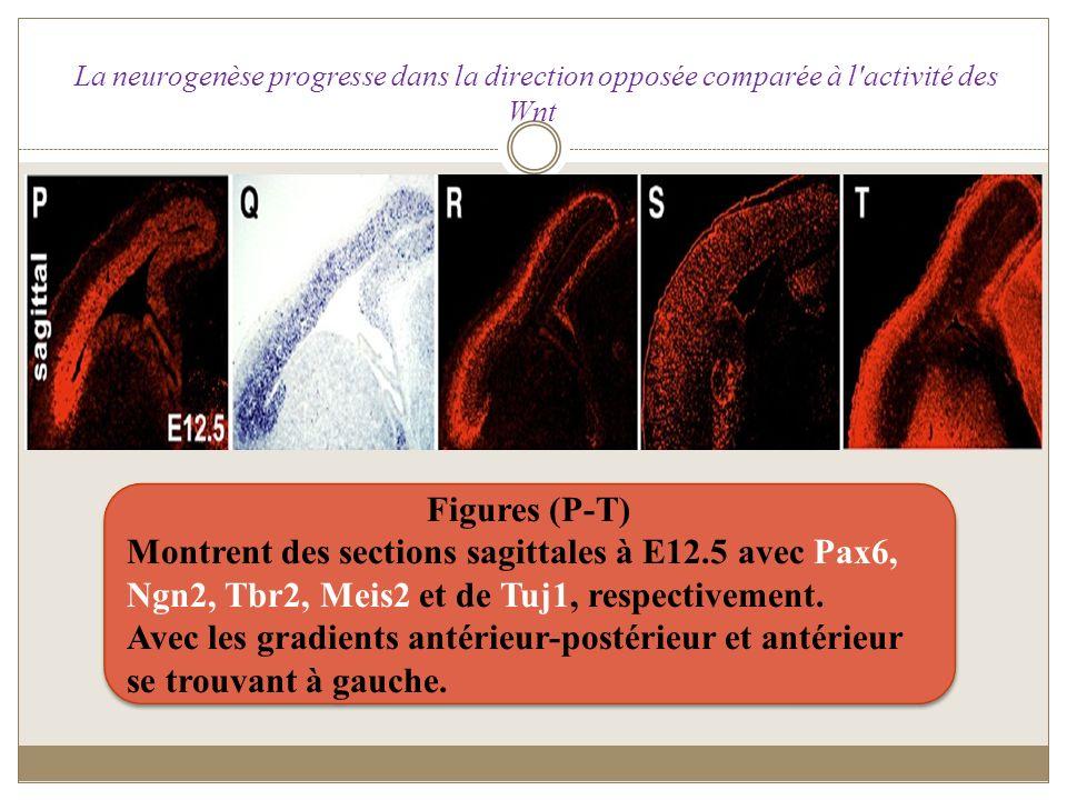 La neurogenèse progresse dans la direction opposée comparée à l activité des Wnt