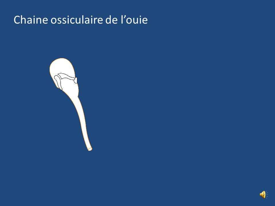 Chaine ossiculaire de l'ouie