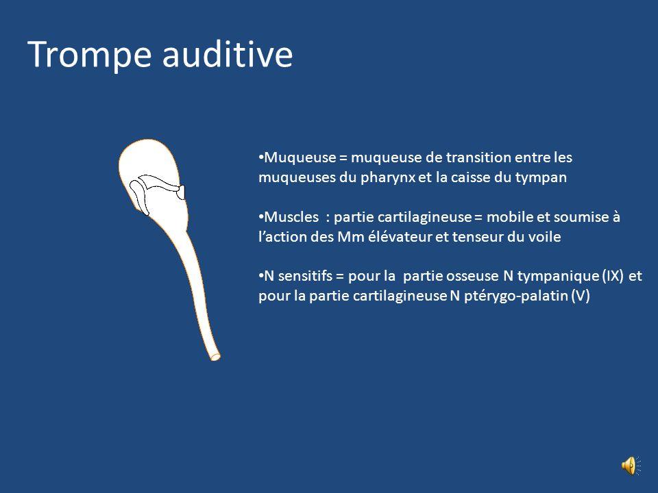Trompe auditive Muqueuse = muqueuse de transition entre les muqueuses du pharynx et la caisse du tympan.