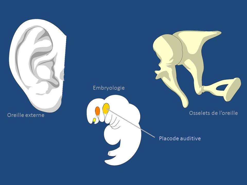 Embryologie Osselets de l'oreille Oreille externe Placode auditive