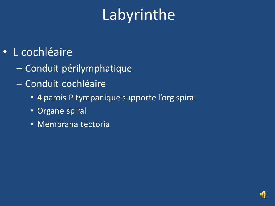 Labyrinthe L cochléaire Conduit périlymphatique Conduit cochléaire