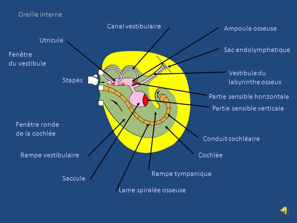 Oreille interne Canal vestibulaire. Ampoule osseuse. Utricule. Sac endolymphatique. Fenêtre. du vestibule.