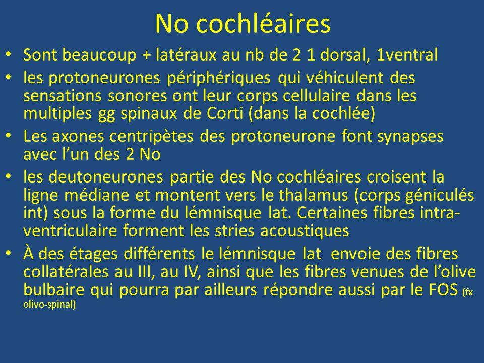 No cochléaires Sont beaucoup + latéraux au nb de 2 1 dorsal, 1ventral