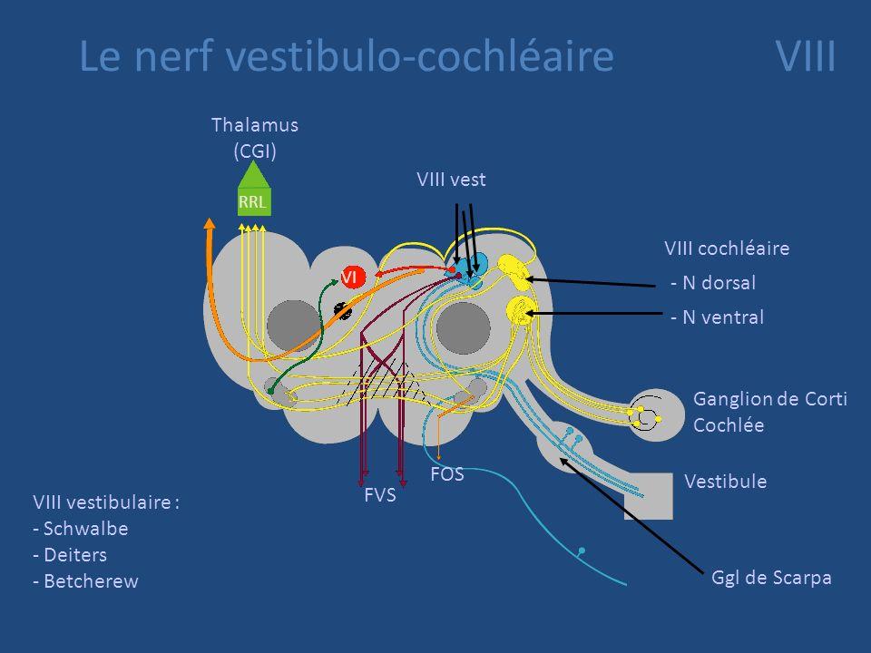 Le nerf vestibulo-cochléaire VIII