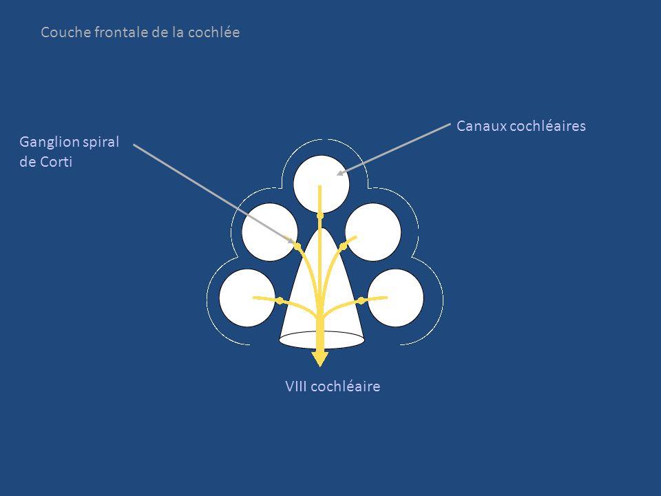 Couche frontale de la cochlée