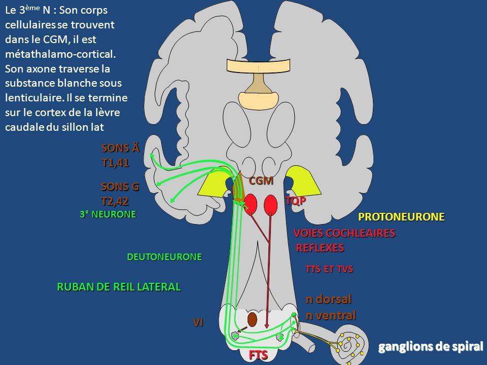 n dorsal n ventral ganglions de spiral FTS