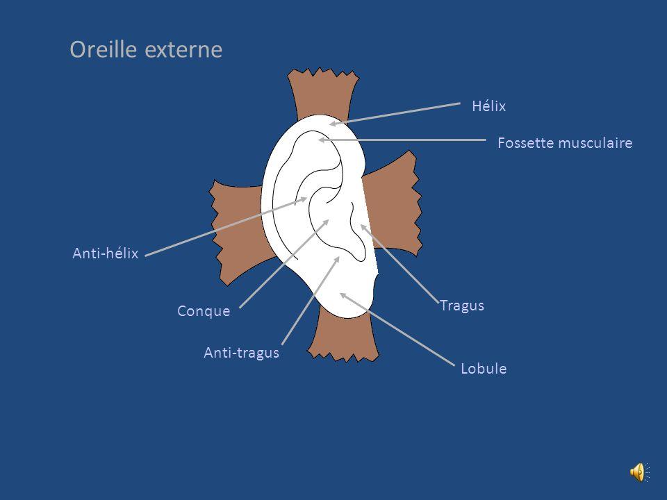 Oreille externe Hélix Fossette musculaire Anti-hélix Tragus Conque