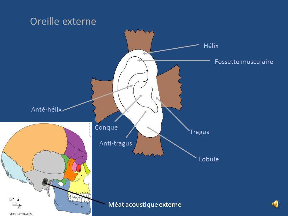 Oreille externe Hélix Fossette musculaire Anté-hélix Conque Tragus
