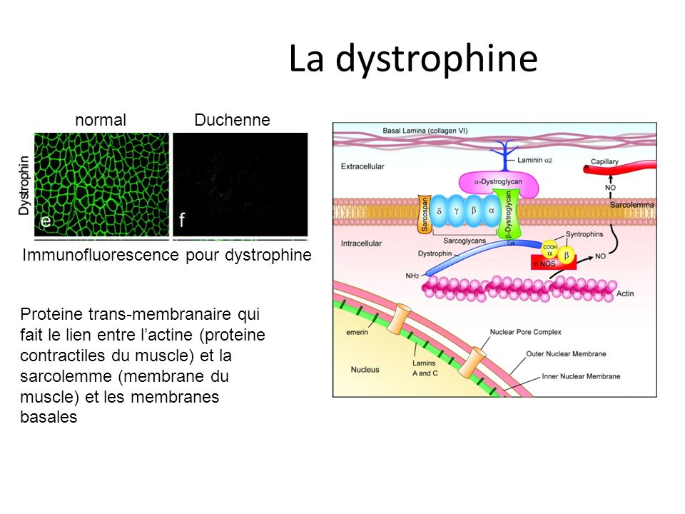 Immunofluorescence pour dystrophine