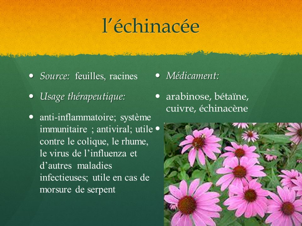 l'échinacée Source: feuilles, racines Médicament: Usage thérapeutique: