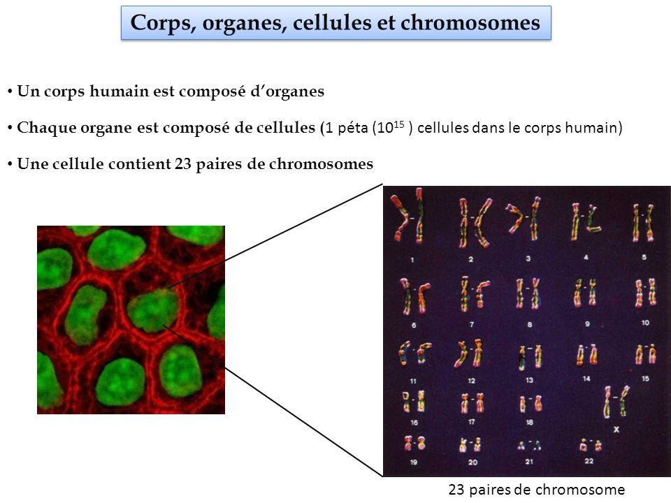 Corps, organes, cellules et chromosomes