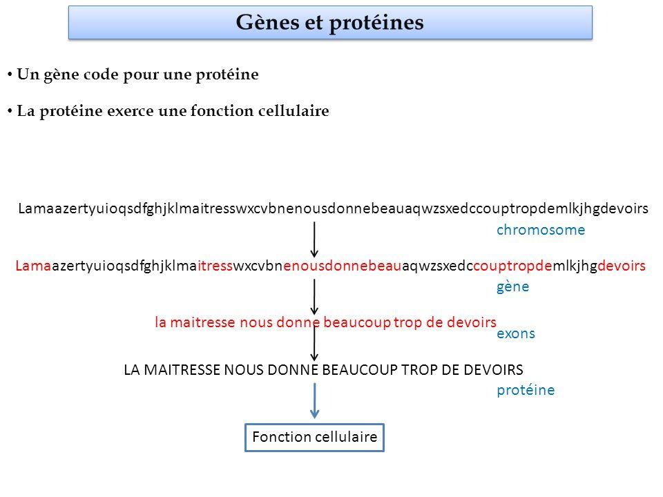 Gènes et protéines Un gène code pour une protéine