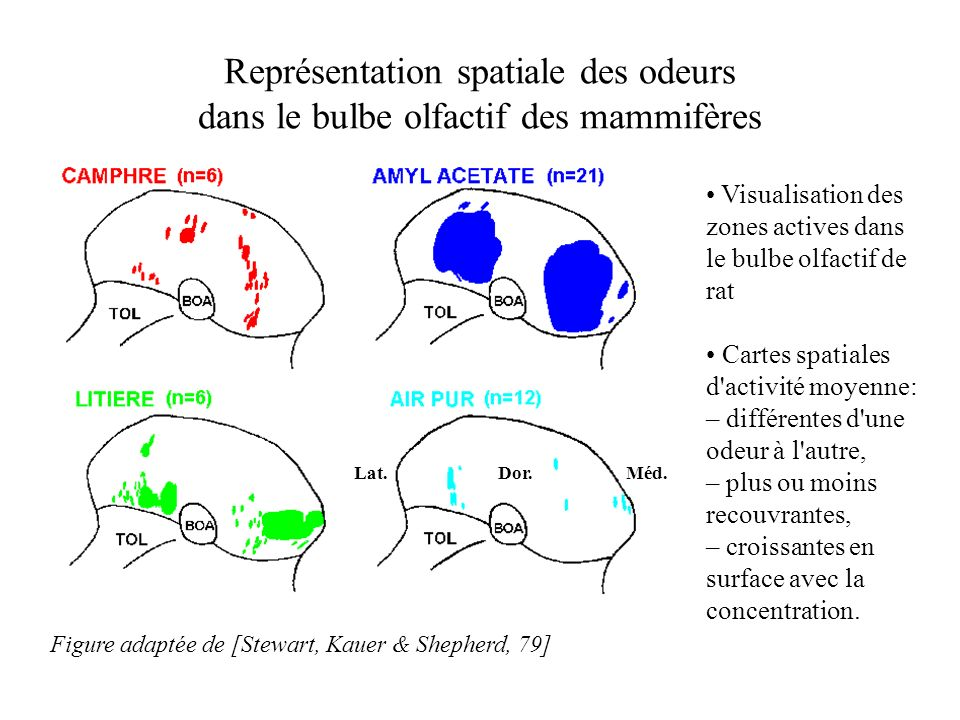 Représentation spatiale des odeurs dans le bulbe olfactif des mammifères