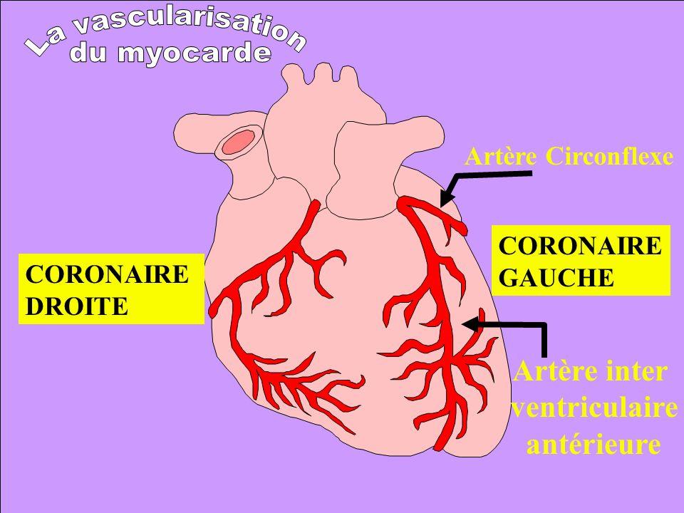 Artère inter ventriculaire antérieure