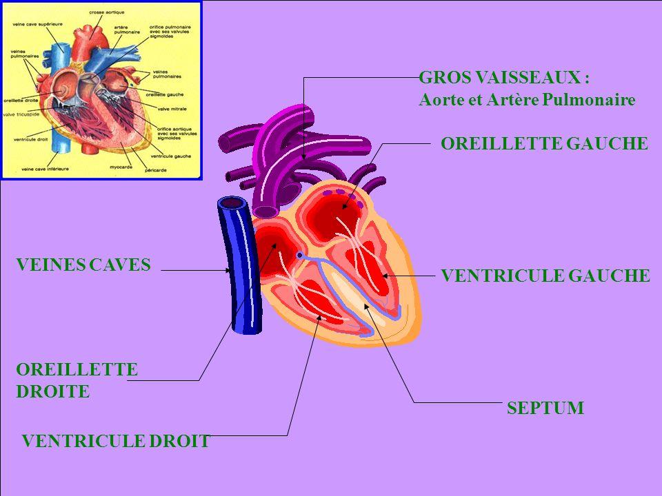 GROS VAISSEAUX : Aorte et Artère Pulmonaire. OREILLETTE GAUCHE. OREILLETTE. DROITE. VEINES CAVES.
