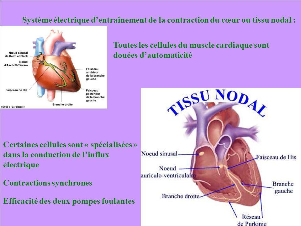 Système électrique d'entraînement de la contraction du cœur ou tissu nodal :