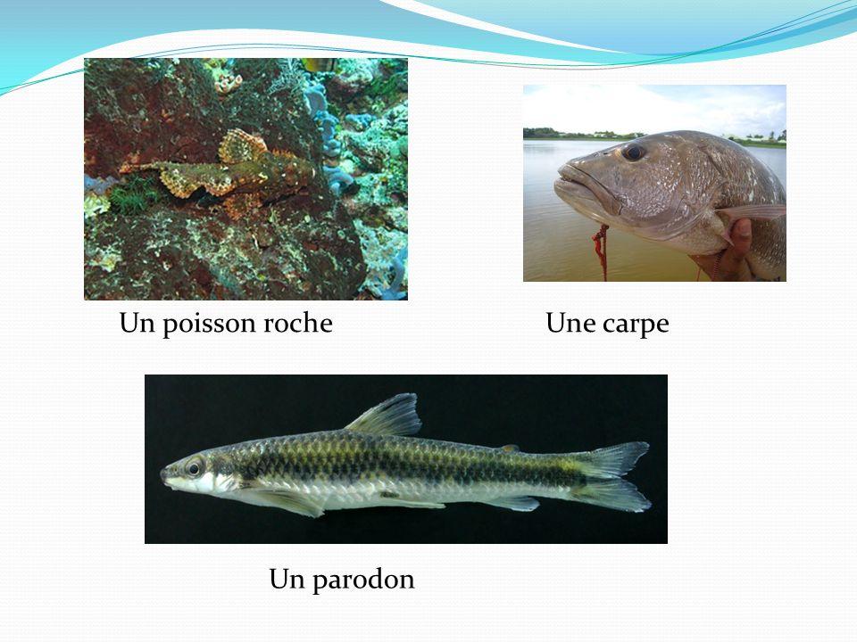 Un poisson roche Une carpe Un parodon