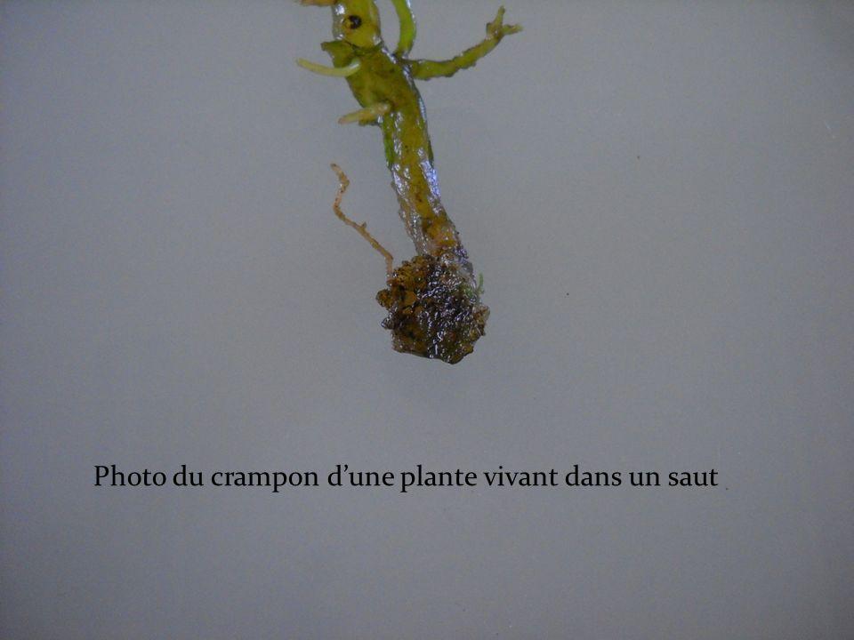Photo du crampon d'une plante vivant dans un saut