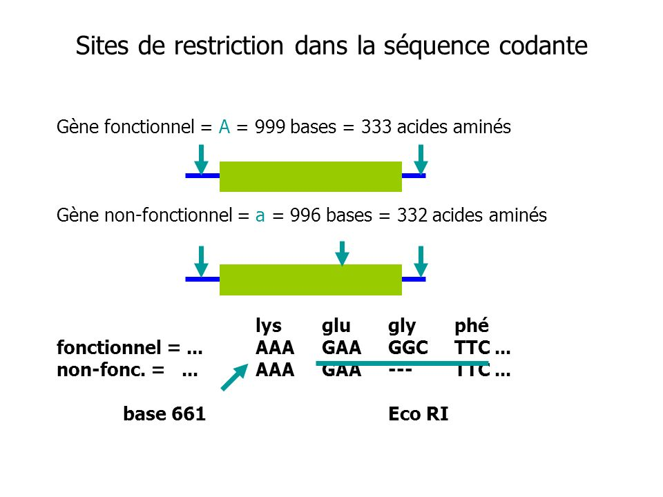 Sites de restriction dans la séquence codante
