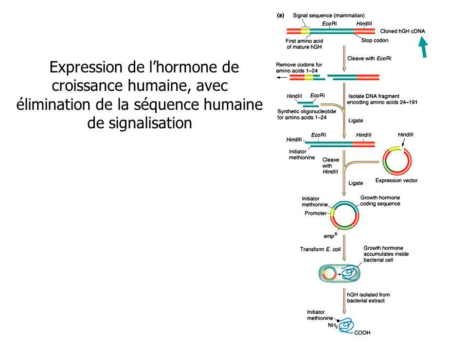 Expression de l'hormone de croissance humaine, avec élimination de la séquence humaine de signalisation