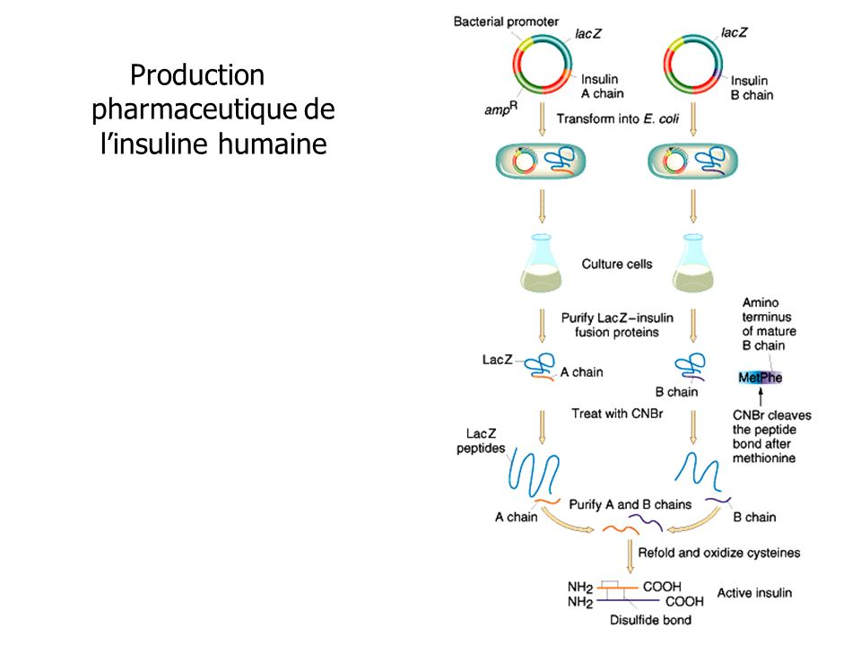 Production pharmaceutique de l'insuline humaine