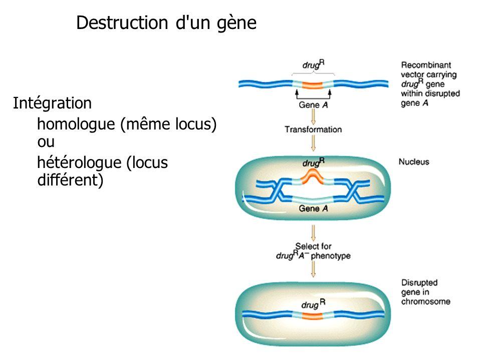 Destruction d un gène Intégration homologue (même locus) ou