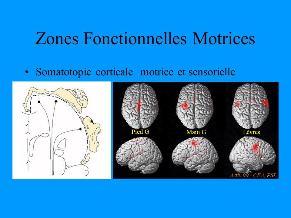 Zones Fonctionnelles Motrices