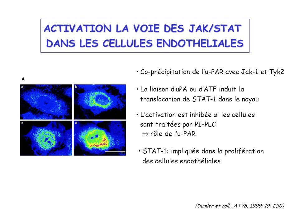 ACTIVATION LA VOIE DES JAK/STAT DANS LES CELLULES ENDOTHELIALES